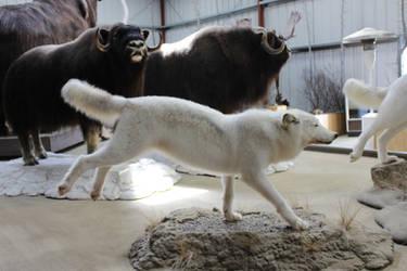 White Wolf Stock 4