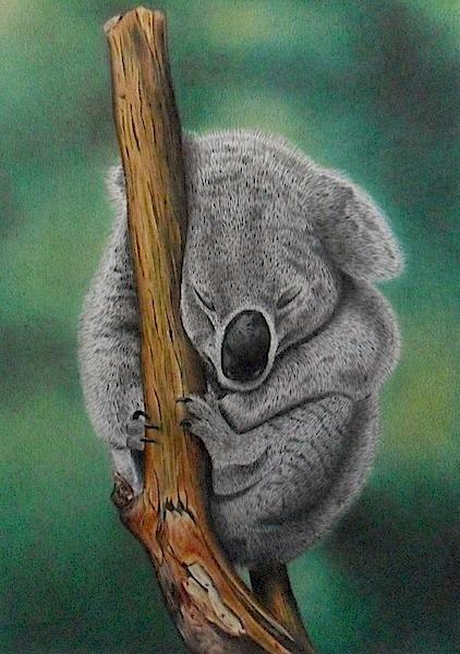Koala by LucaCastiglione