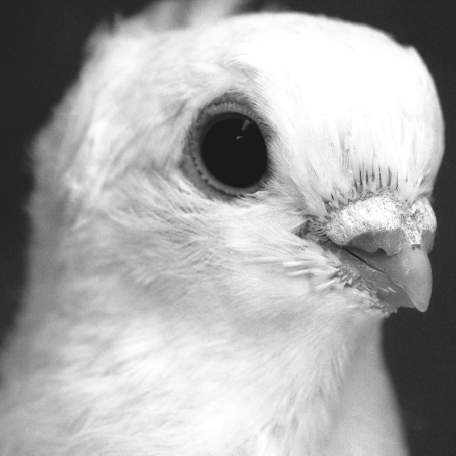 Portrait of a dove by 1Mathew7