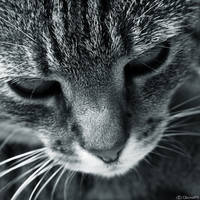 The cat by claraXY