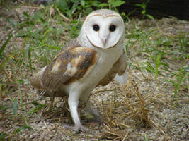 Barn Owl by tablelander