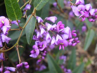 Darker Purple Hardenbergia by tablelander