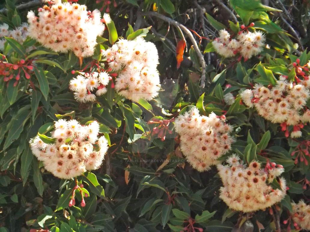Pink flowering gum closeup by tablelander on deviantart pink flowering gum closeup by tablelander mightylinksfo