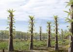 Tempskya trees in a Cretaceous landscape