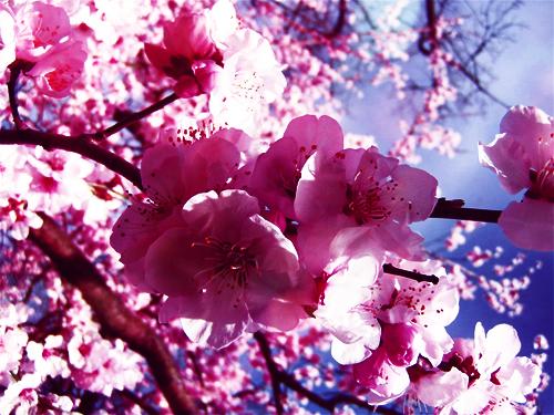 sakura by xMystogan