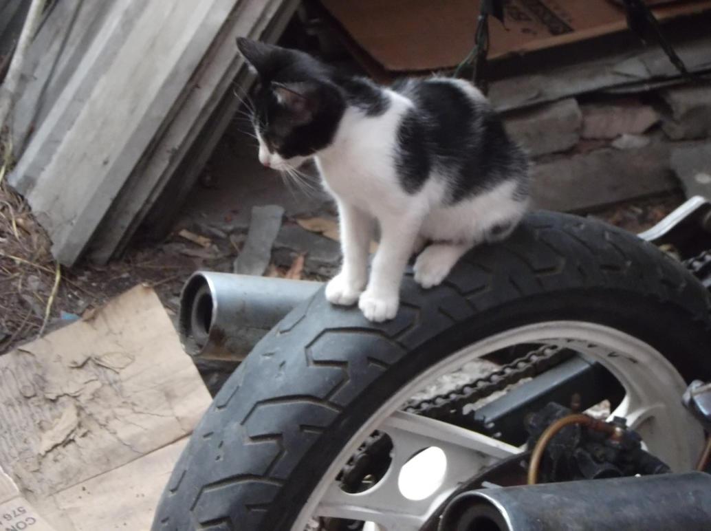 Cat on wheels by Lord-LestatDlaCuadra