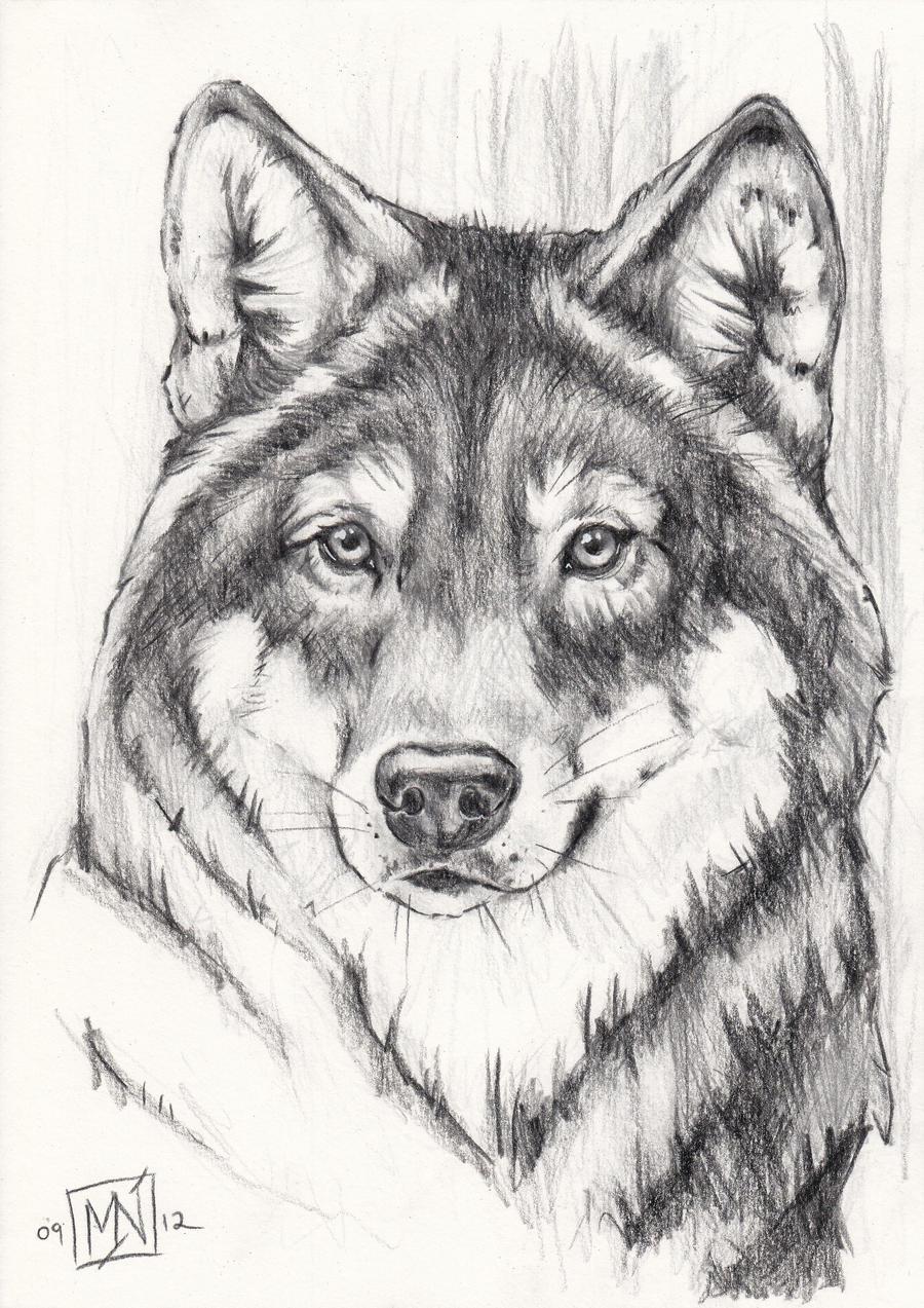 Grey wolf - quick portrait by kattvalk