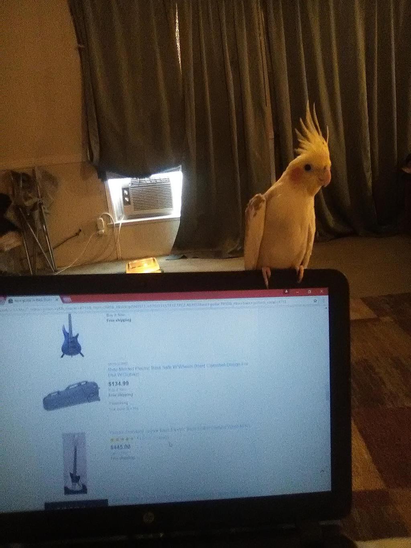 Laptop Cockatiel. by MOTLEYLOMBAXCRUE666