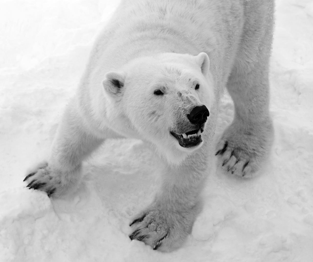 Mother Polar Bear by SunDwn
