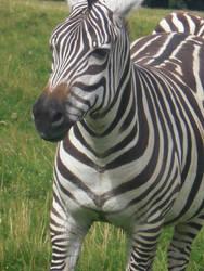 Zebra by sineadikins