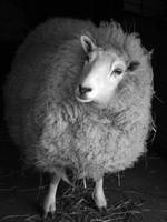 Sheep by racheldburton