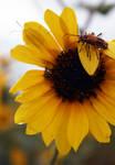Sunflower 2 by racheldburton