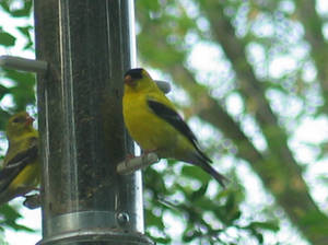 Another Yellow Finch