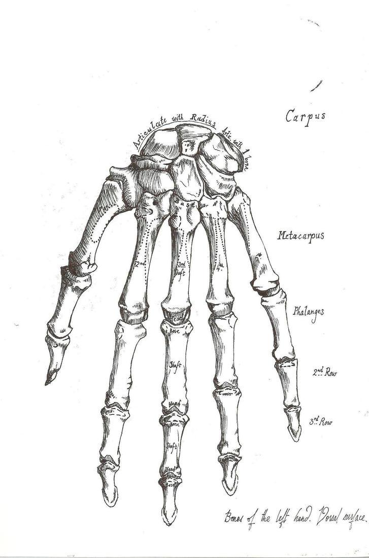 Hand Anatomy by Rabecio-Hart-Thaligy on DeviantArt