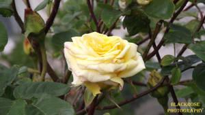 pretty rose by FallenAngel6950