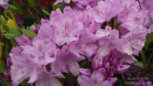 Rhododendron by FallenAngel6950