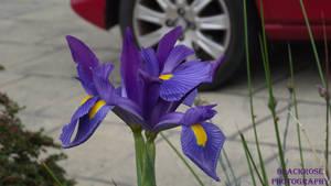 beautiful iris by FallenAngel6950