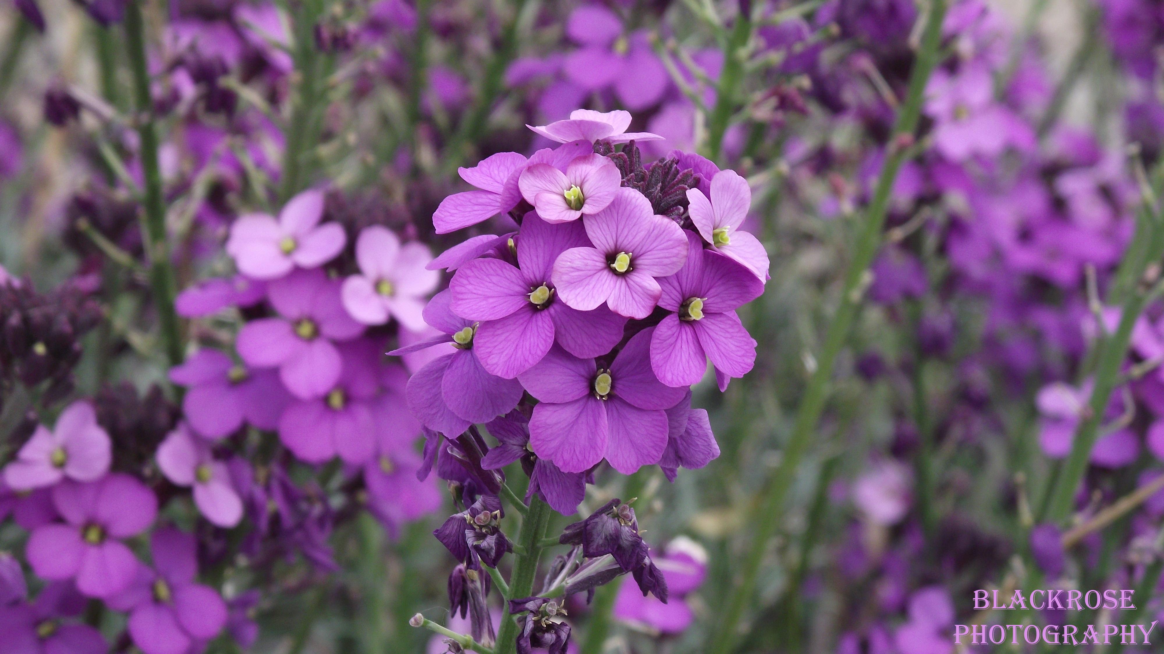 pretty purple flowers by FallenAngel6950