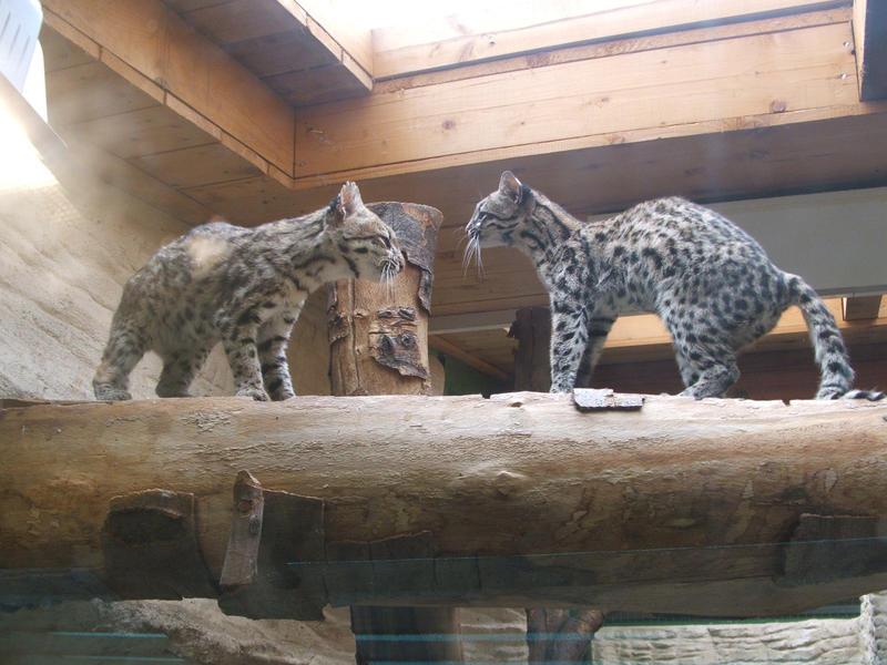 http://fc07.deviantart.net/fs26/i/2008/182/d/7/Two_oncillas_____tiger_cats___by_Scorpy_chan.jpg