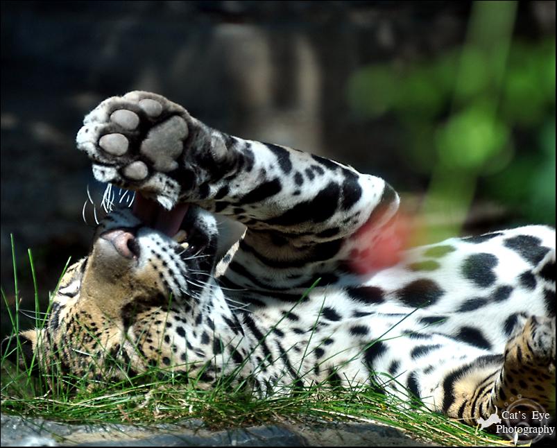 Jaguar animal paw - photo#1