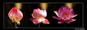 Lotus Regeneration