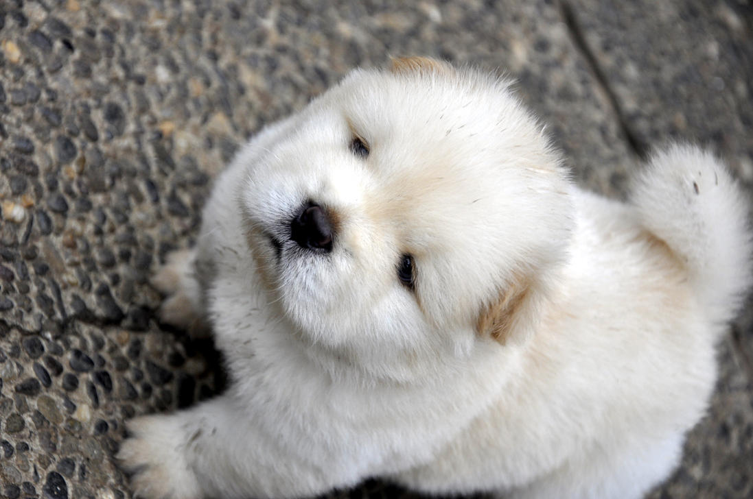 chow chow puppy by yuriestax on deviantART