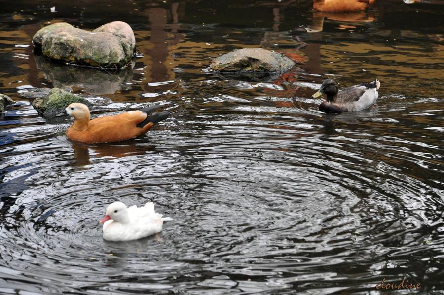ducks by little-arrow