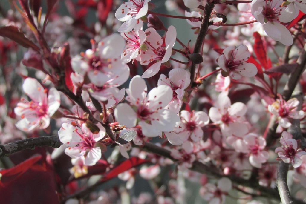 Cherry Blossums by kawaiifairytaledream