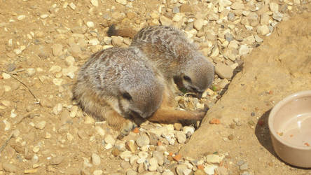 Oh, There is two meerkets