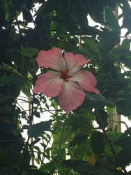 An very pure chinese hibiscus