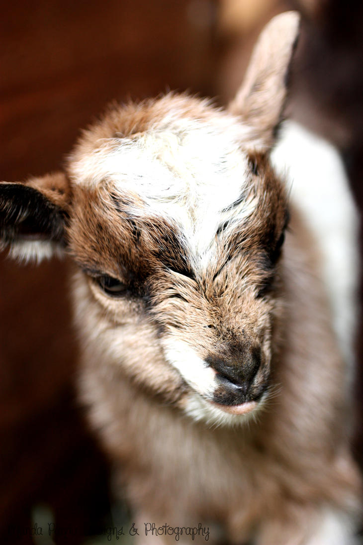 Baby Goat by MandaPandaPhoto