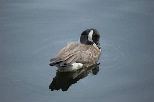 Goose on the Mirror