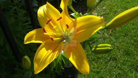 Yellow Lily, Early Bloom