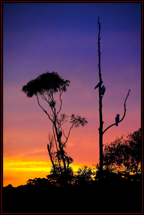 cockatoos at sunset by heartyfisher
