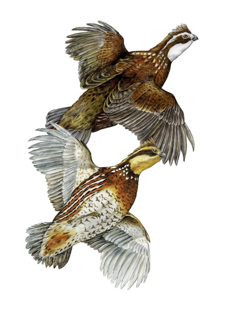 Quails Drawing Bobwhite  Quail Flying Drawing