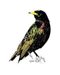 European Starling by Edelslav