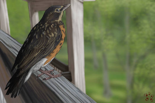 Rescued Robin