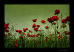 Poppy field by amitaf13