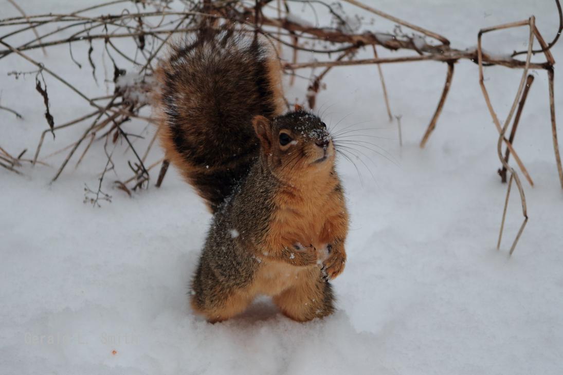Fox Squirrel 26 by Gerryanimator