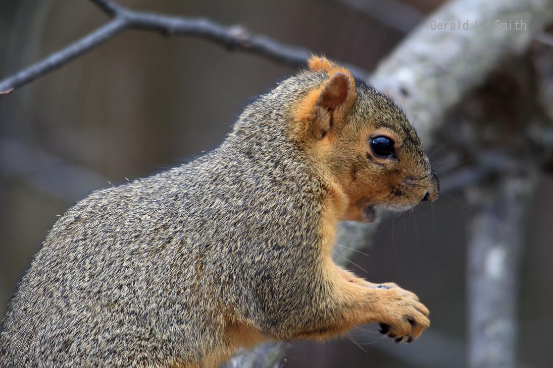 Fox Squirrel 58 by Gerryanimator