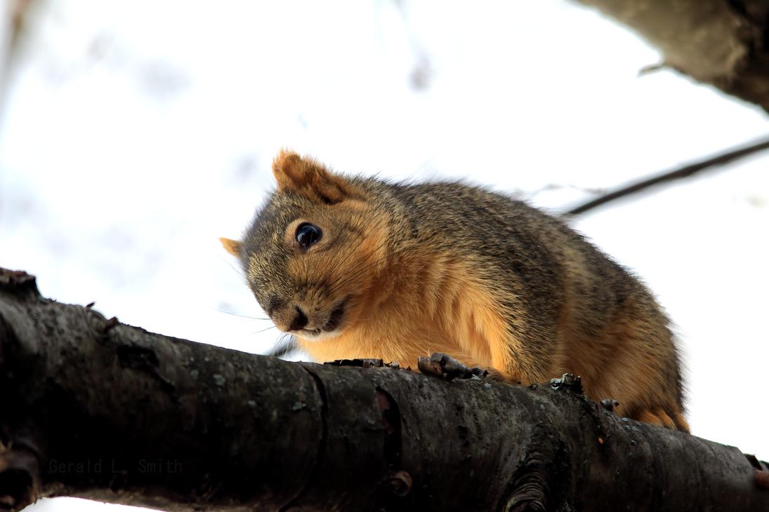 Fox Squirrel 59 by Gerryanimator