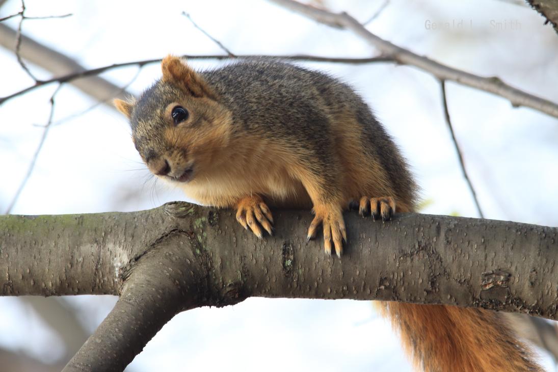 Fox Squirrel 60 by Gerryanimator