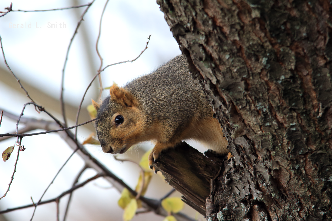 Fox Squirrel 61 by Gerryanimator