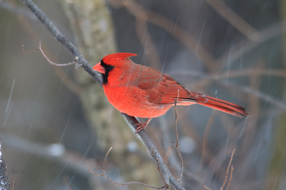 Northern Cardinal 15 by Gerryanimator