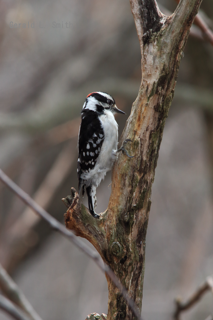 Downy Woodpecker 9 by Gerryanimator