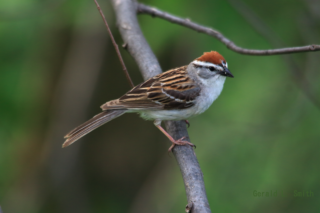 Chipping Sparrow by Gerryanimator