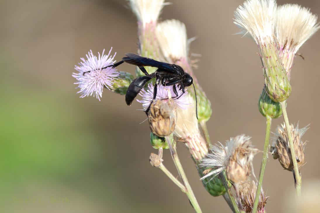Great Black Wasp by Gerryanimator