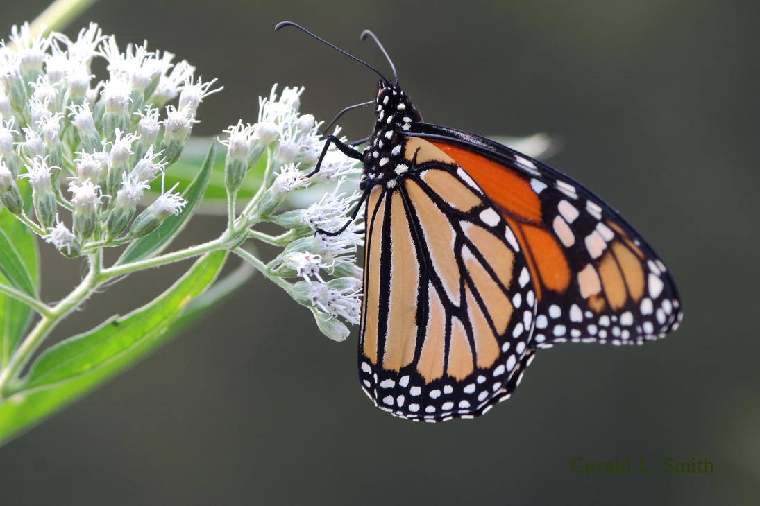 Monarch Butterfly 2 by Gerryanimator