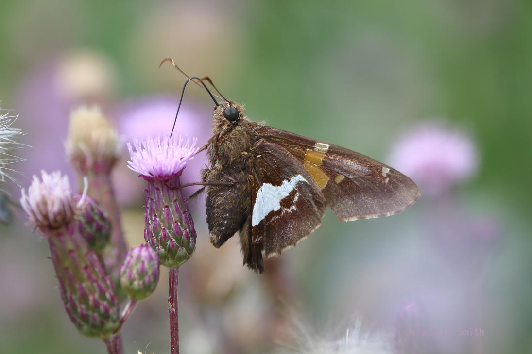 Silver-spotted Skipper 19 by Gerryanimator