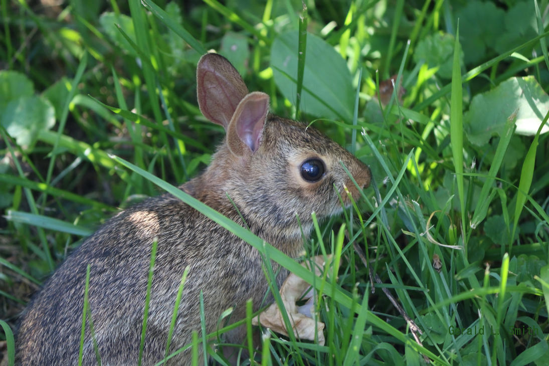 Eastern Cottontail 8 by Gerryanimator
